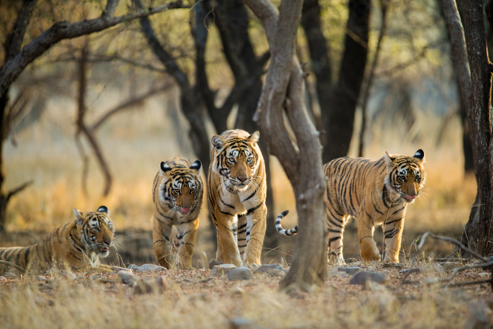 Ranthambhore National Park  Rajasthan  India_775382149