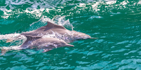 Oman Dolphins_707984152